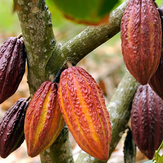 Cacao Fruit, Cocoa & Chocolate Tour